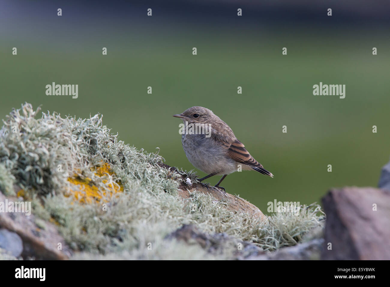 Young Northern Wheatear, Oenantha oenanthe, sitting on stone wall - Stock Image
