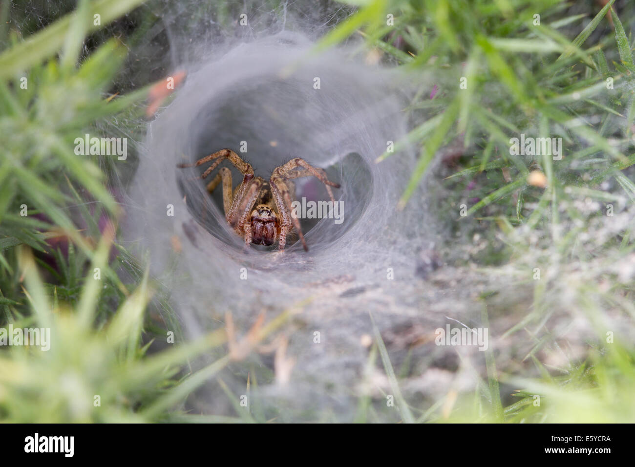 Nursery-web Spider (Agelena labyrinthica) lurking at the entrance of her web retreat - Stock Image