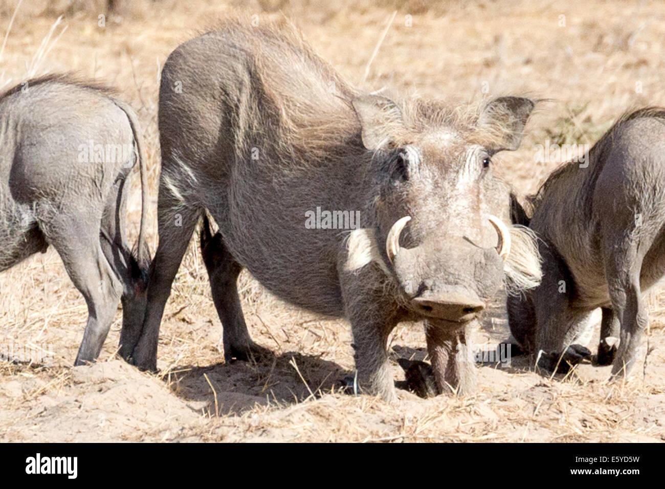 wart hogs Langue de Barbarie National park Senegal - Stock Image