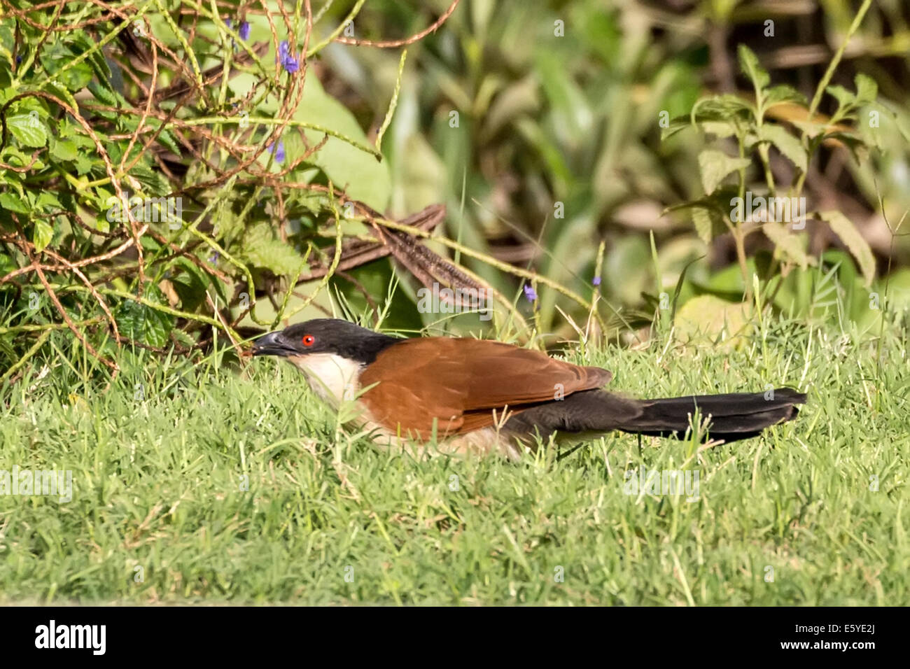 Senegal coucal - Stock Image