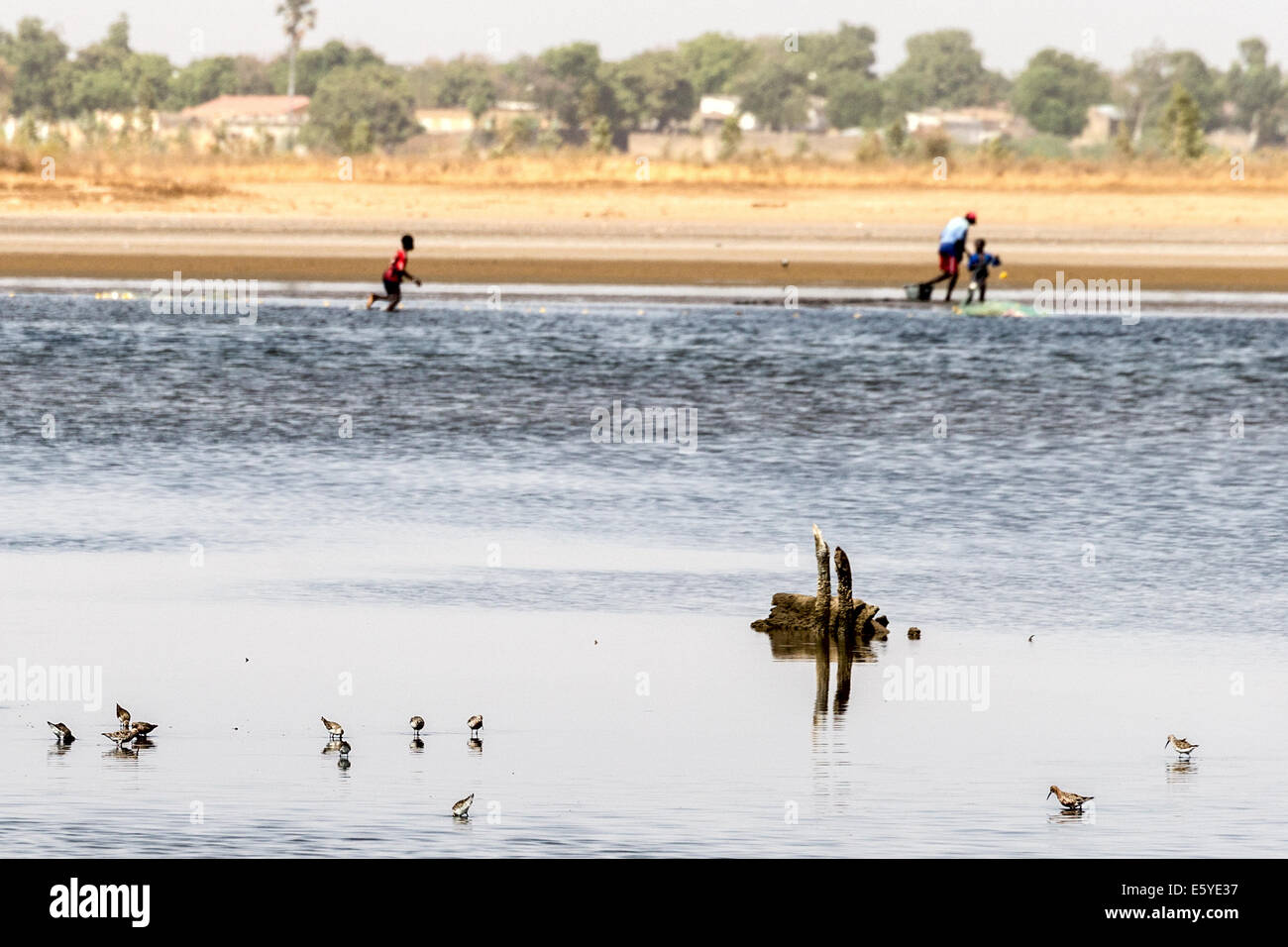 common & wood sandpipers with man & boy with fishing nets in background Sine Saloum delta Senegal - Stock Image