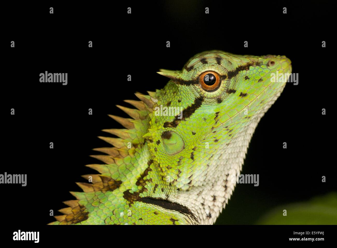 Emma Gray's forest lizard (Calotes emma), also known as the forest crested lizard, is an agamid lizard found - Stock Image