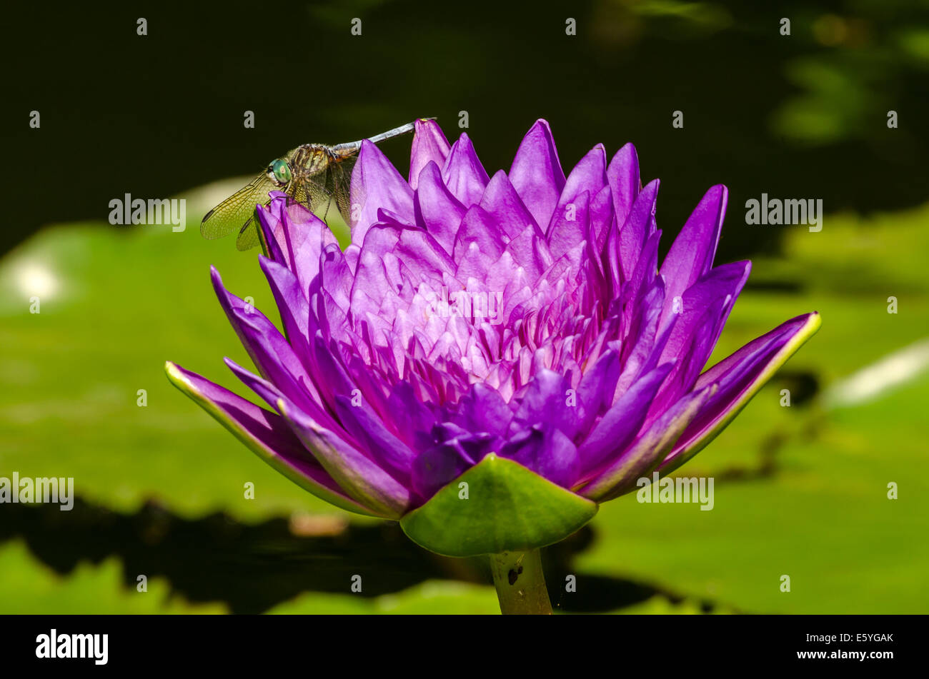 Lily Pad Dragonfly Stock Photos Lily Pad Dragonfly Stock Images