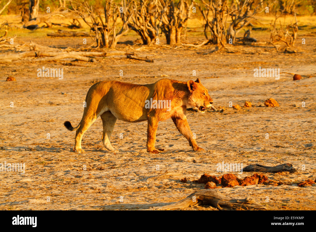 Fat & full lioness strolling across the flats on Africa's plains, stunning golden colors in the early morning Stock Photo