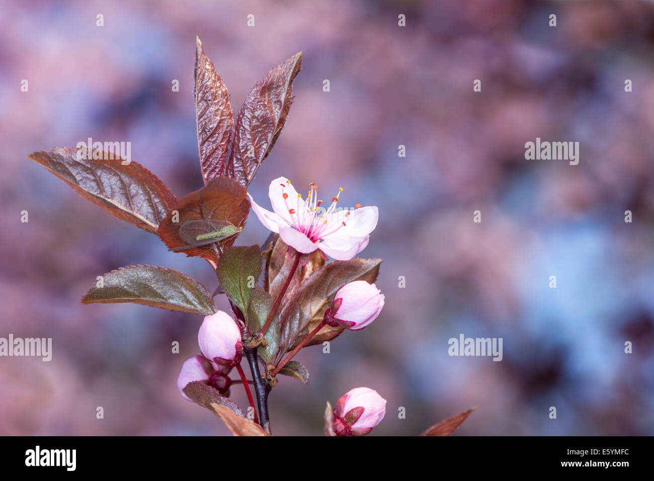 Spring scenic - twig with pink plum blossoms - Stock Image