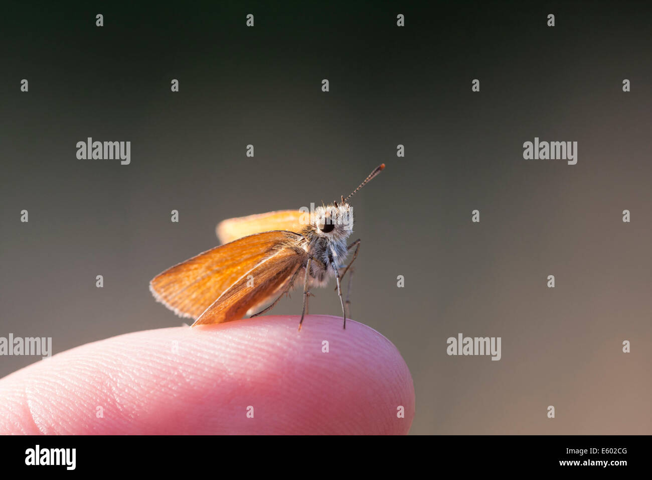 Little orange or brown butterfly on a human finger - Stock Image