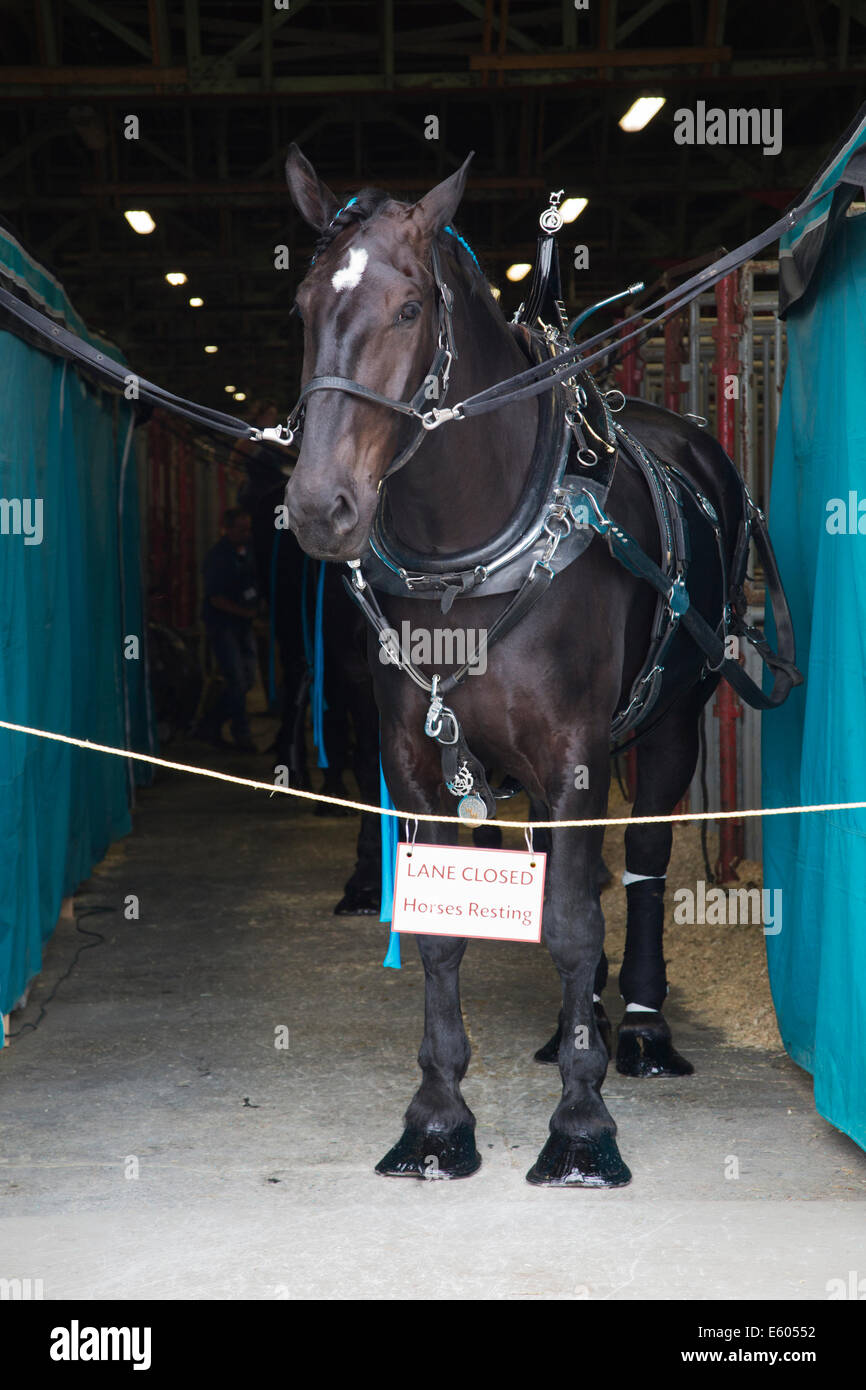 Draft horse in the barn ready for competition at the Calgary Stampede - Stock Image