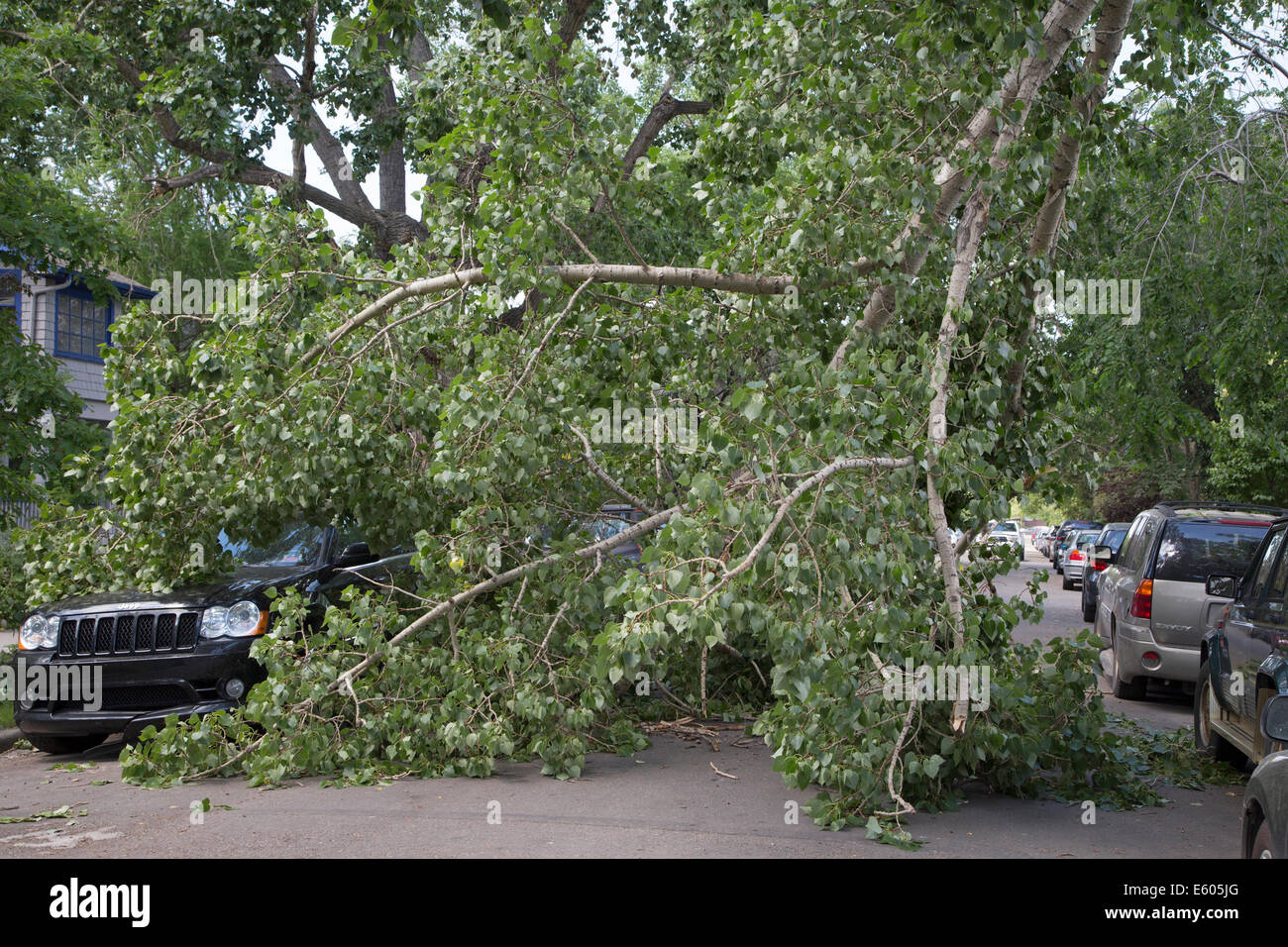 Vehicle underneath fallen cottonwood tree branch on city street after wind storm Stock Photo