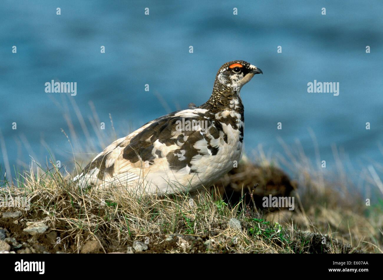 Ptarmigan Lagopus mutus - Stock Image