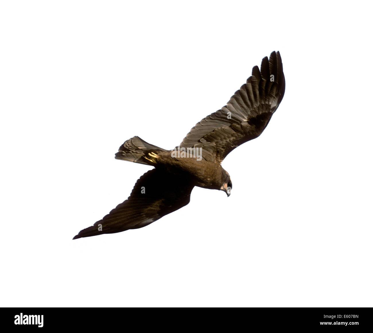 Marsh Harrier Circus aeruginosus - Stock Image