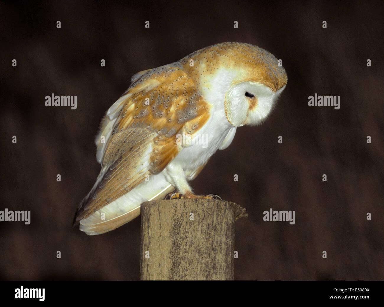 Barn Owl Tyto alba - Stock Image