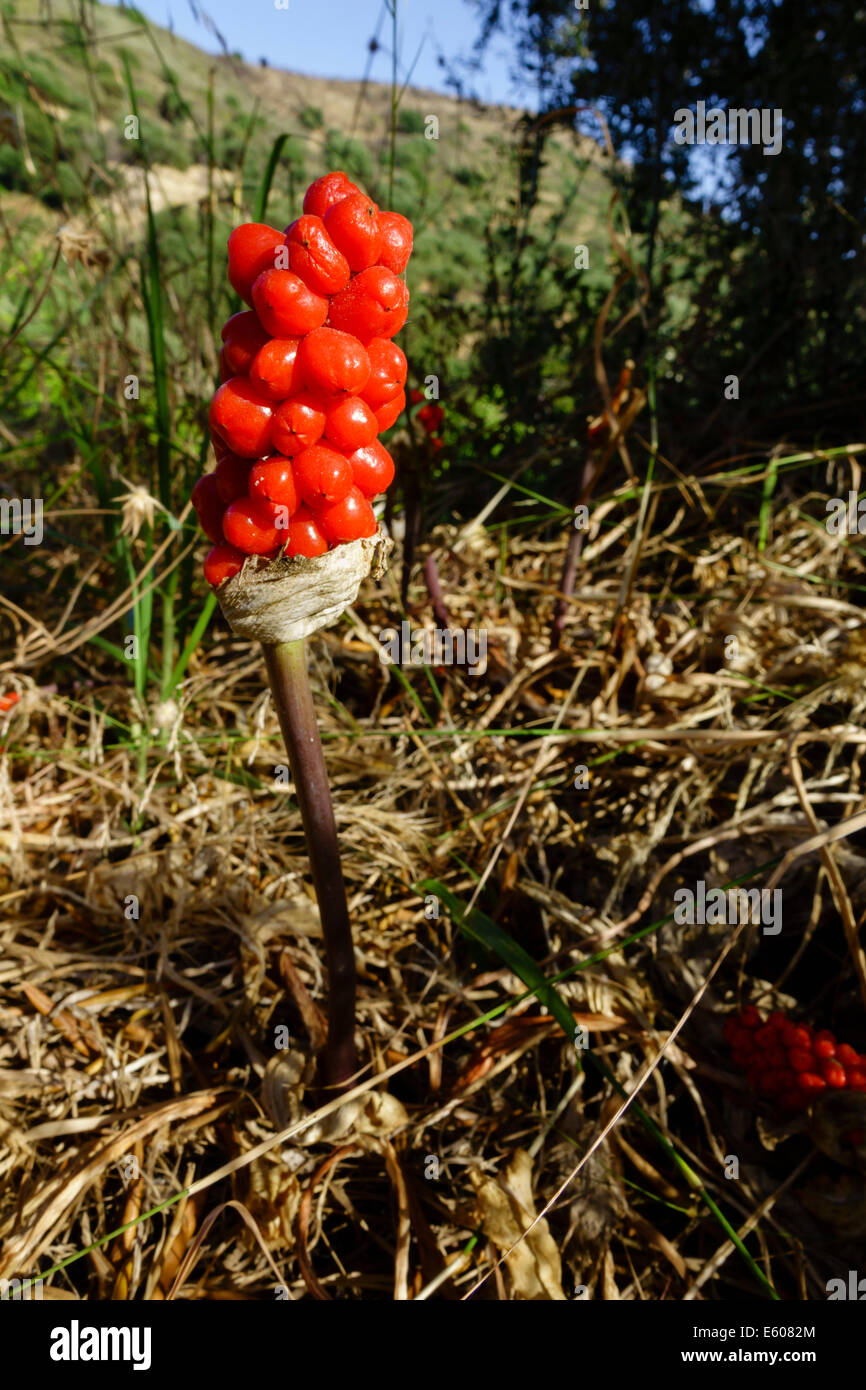 Zante, Greece - Arum maculatum, wild arum lily, poisonous fruiting berry head in midsummer. - Stock Image