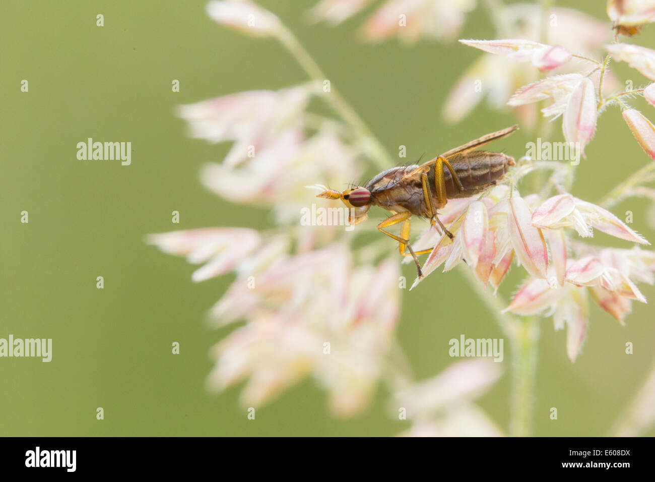 Deer fly perched on a plant. Stock Photo