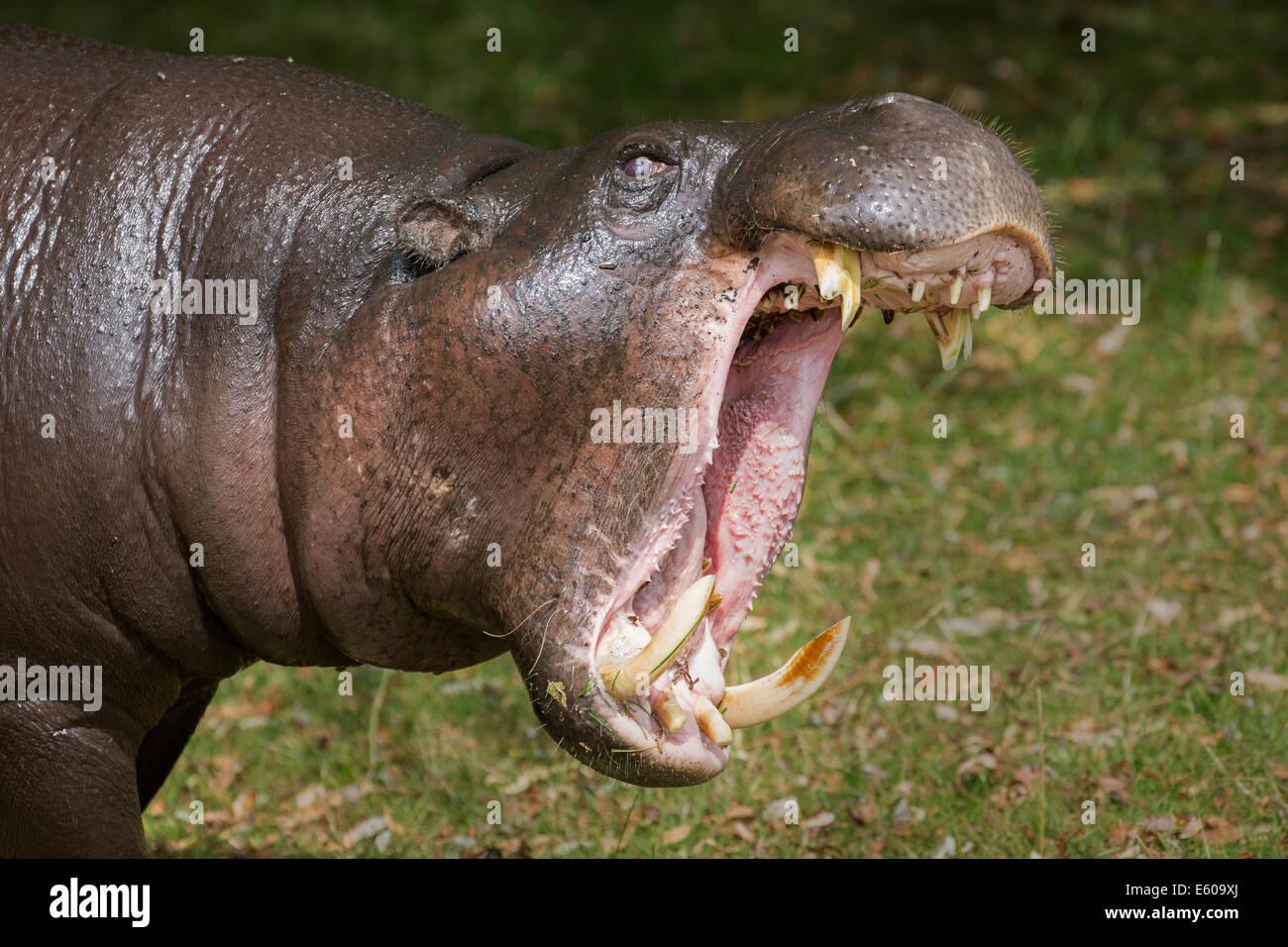 Pygmy Hippopotamus - Stock Image