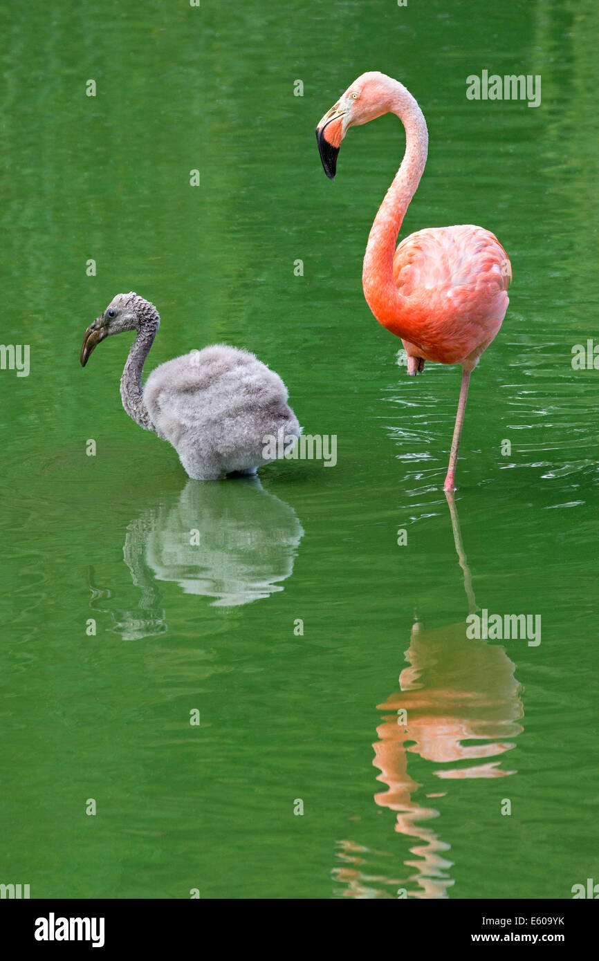Rosy Flamingo chick - Stock Image