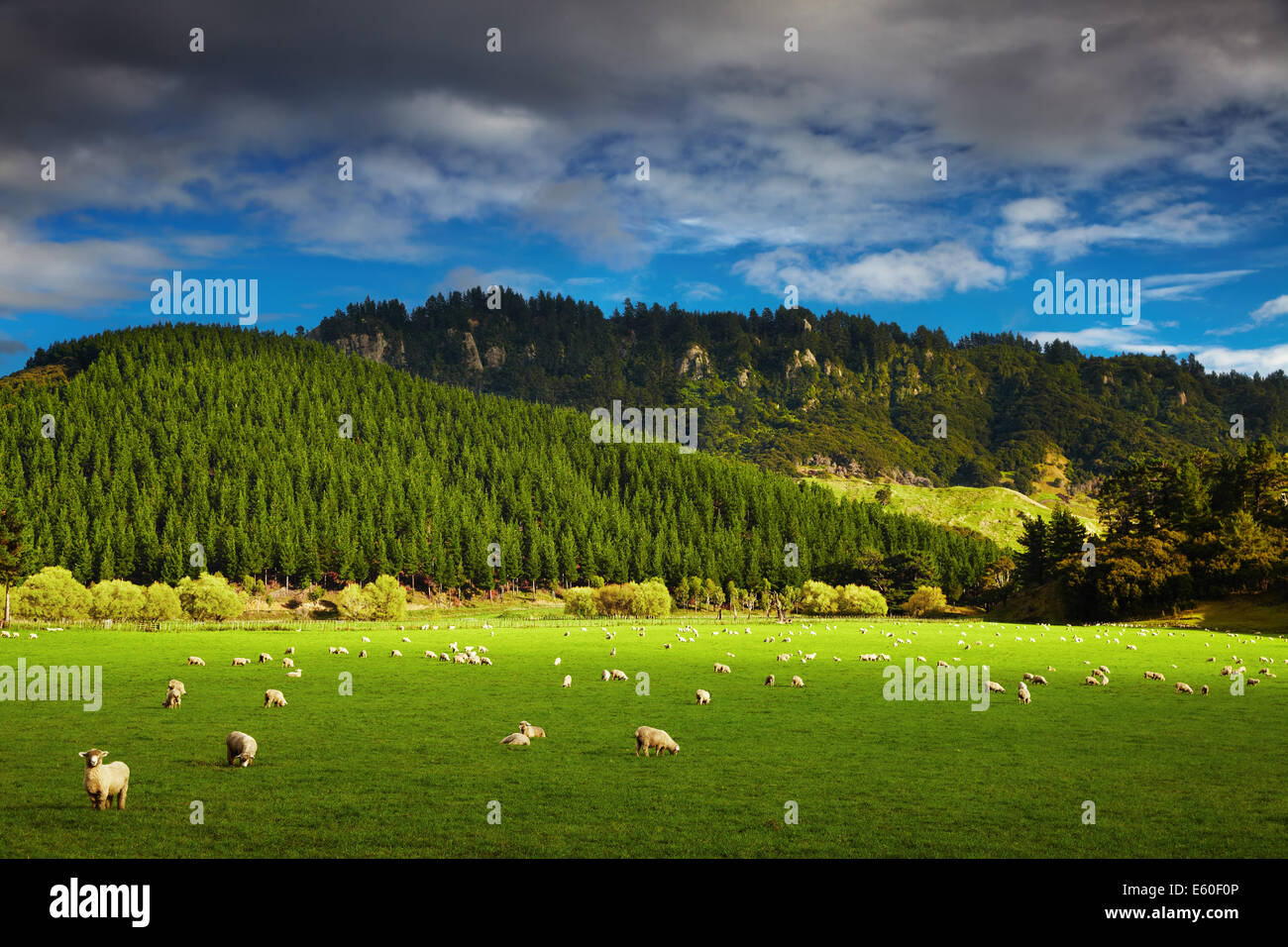 Landscape with forest and grazing sheep, North Island, New Zealand - Stock Image