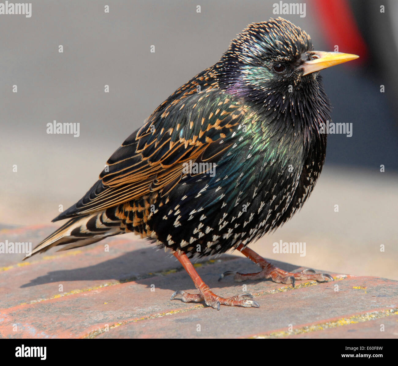 STARLING (Sturnus vulgaris vulgaris) well loved UK bird now in decline - this is an adult male. From the archives - Stock Image
