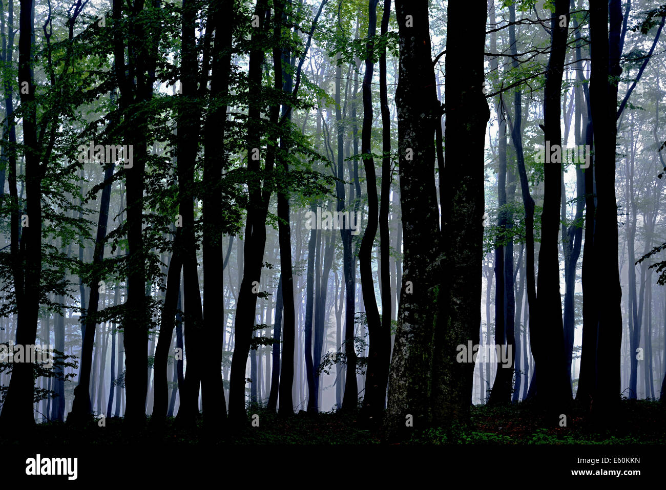 Spooky forest woodland with tall trees and mist. - Stock Image