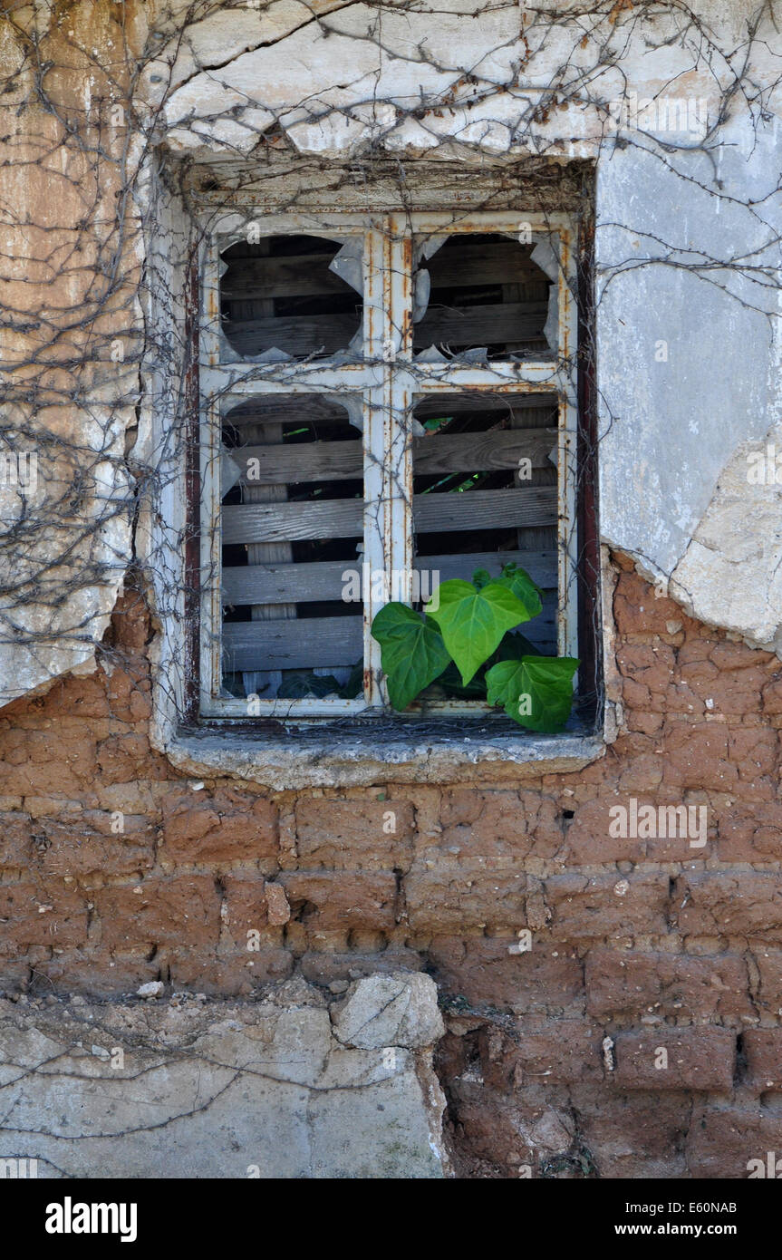 Green ivy leaves growing through broken rusty window of abandoned house. Textured crumbling wall background. - Stock Image