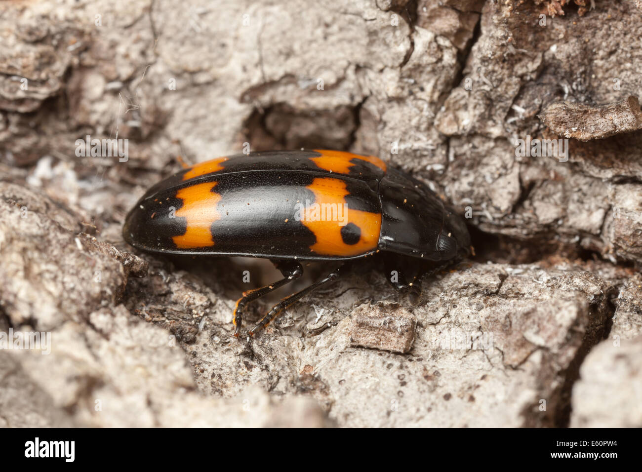 A Pleasing Fungus Beetle (Megalodacne fasciata) explores the bark of a dead and decaying tree. - Stock Image