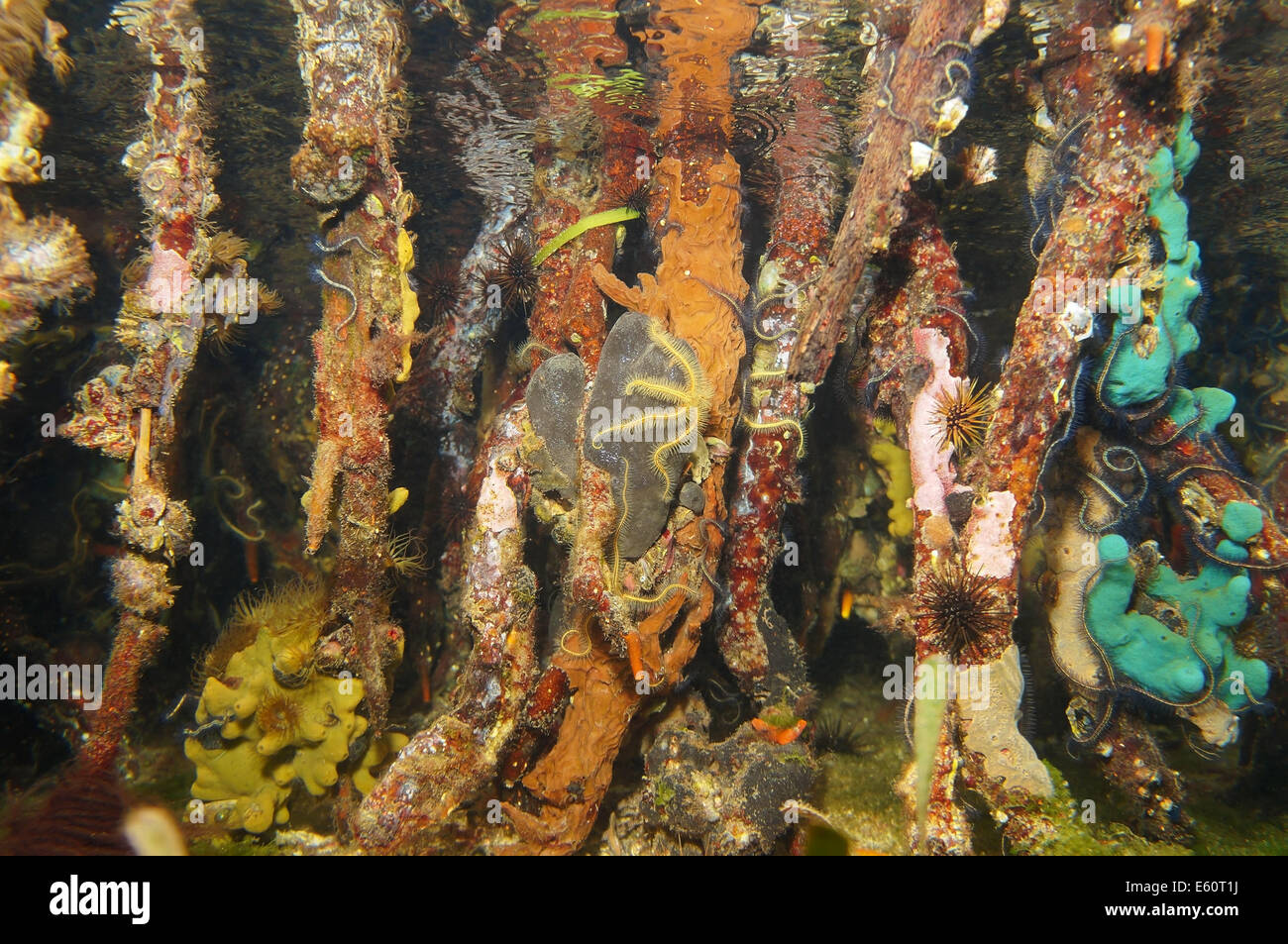 mangrove roots underwater with colorful sea life, Caribbean sea - Stock Image