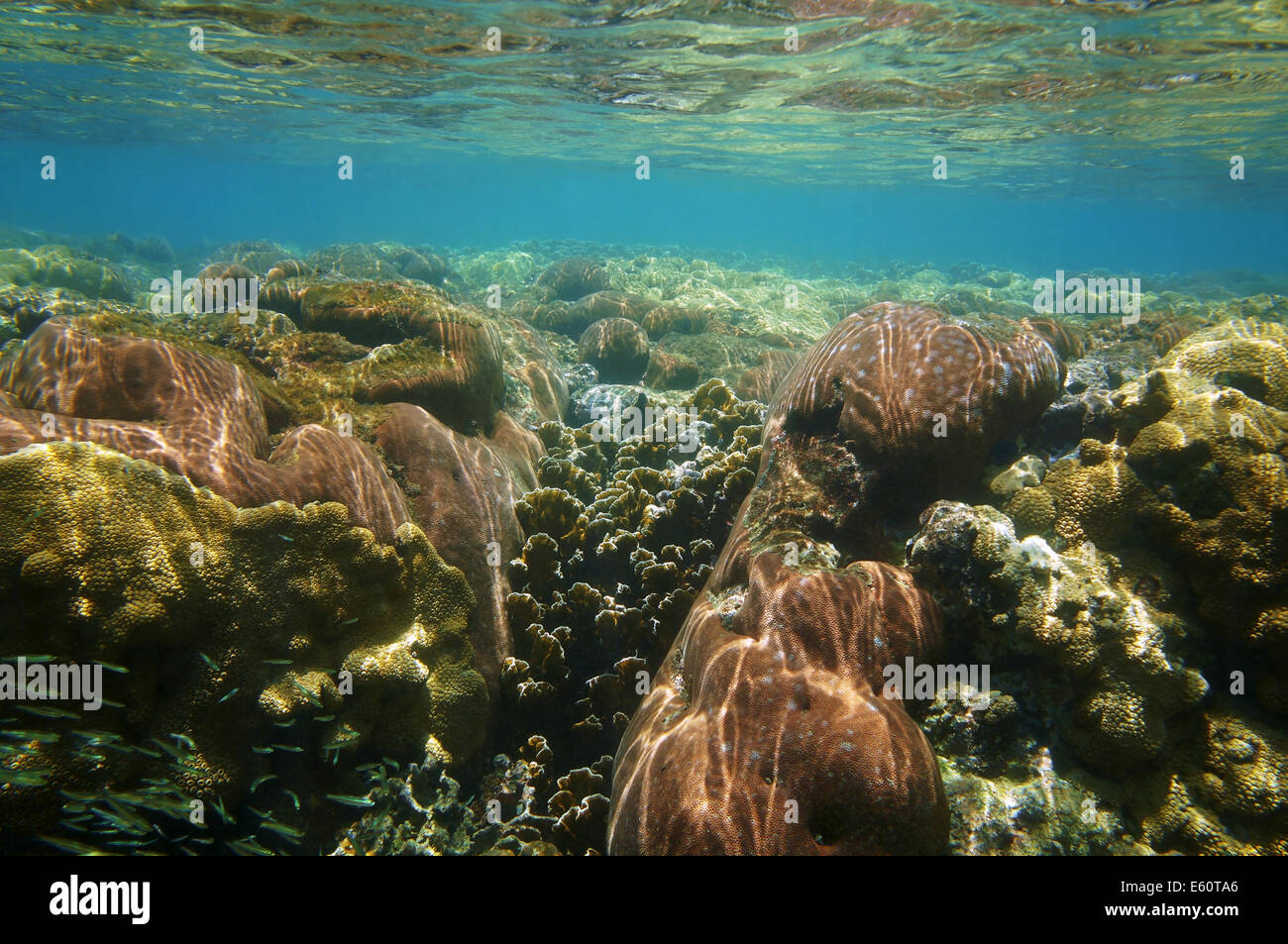 underwater coral reef close to water surface, Caribbean sea - Stock Image