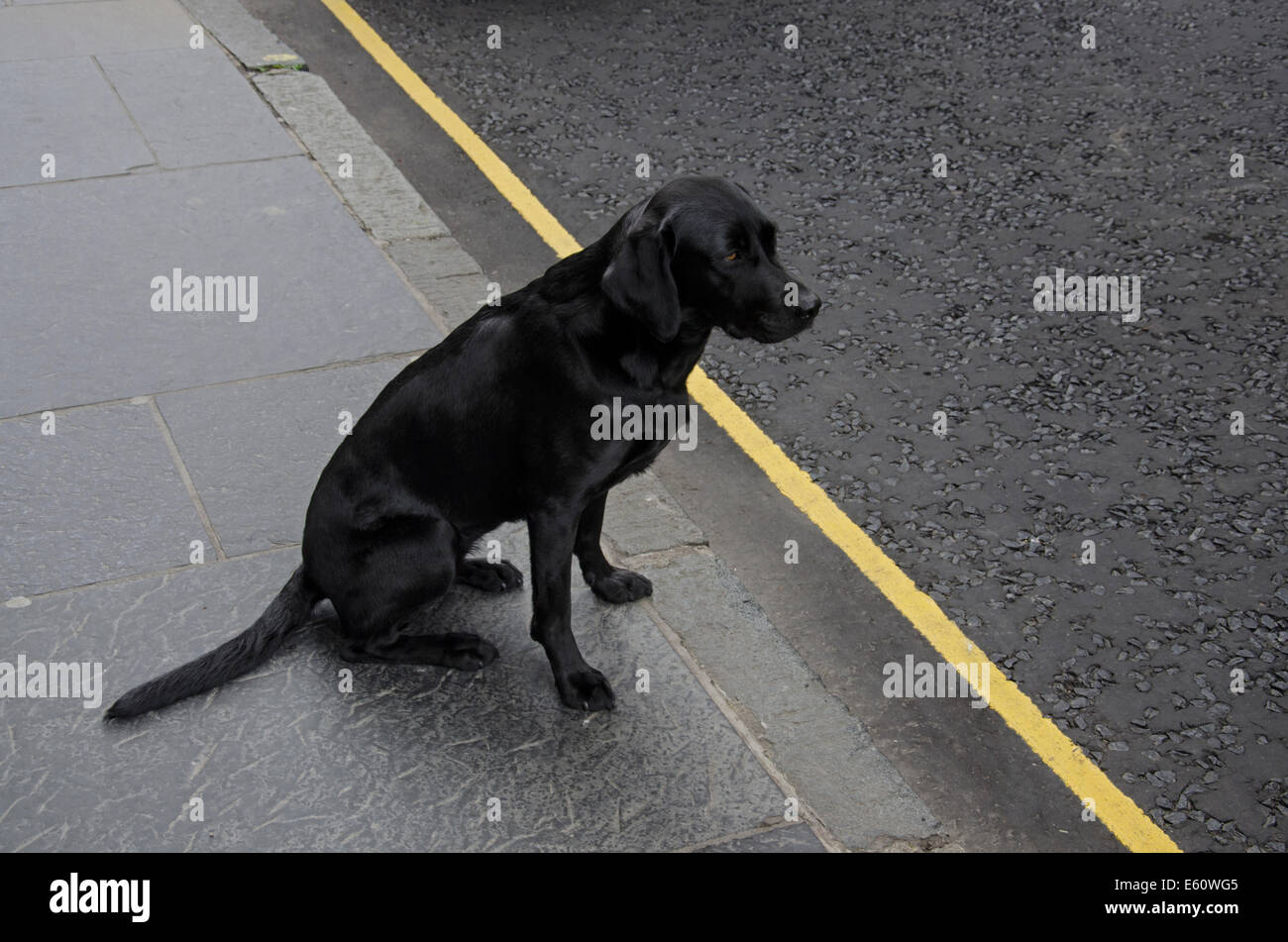 A black Labrador dog sitting on the pavement next to a yellow line on the road. - Stock Image