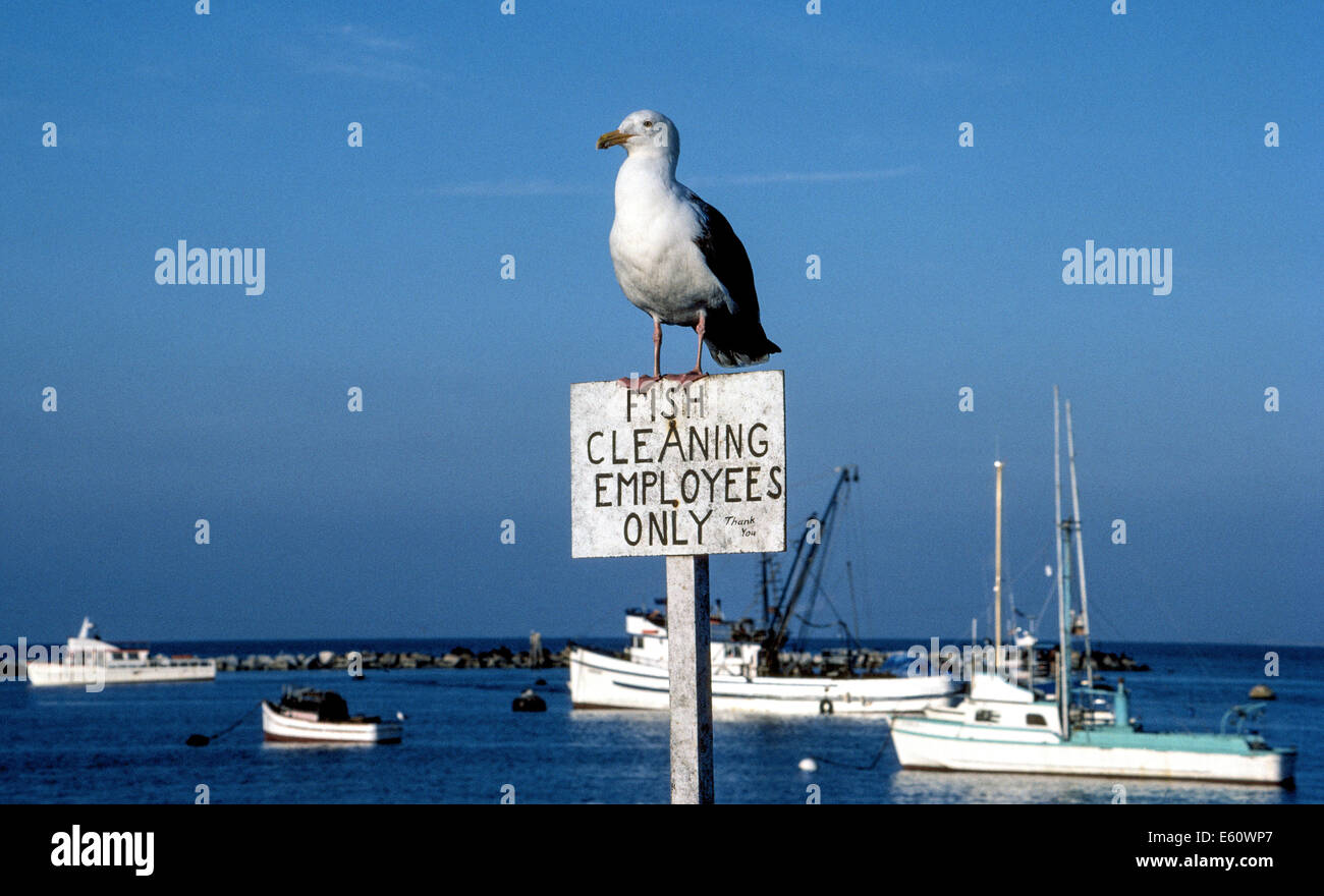 Wanting to be the first in line to scavenge a meal of fresh fish, a gull perches on an appropriate sign at Fisherman's - Stock Image