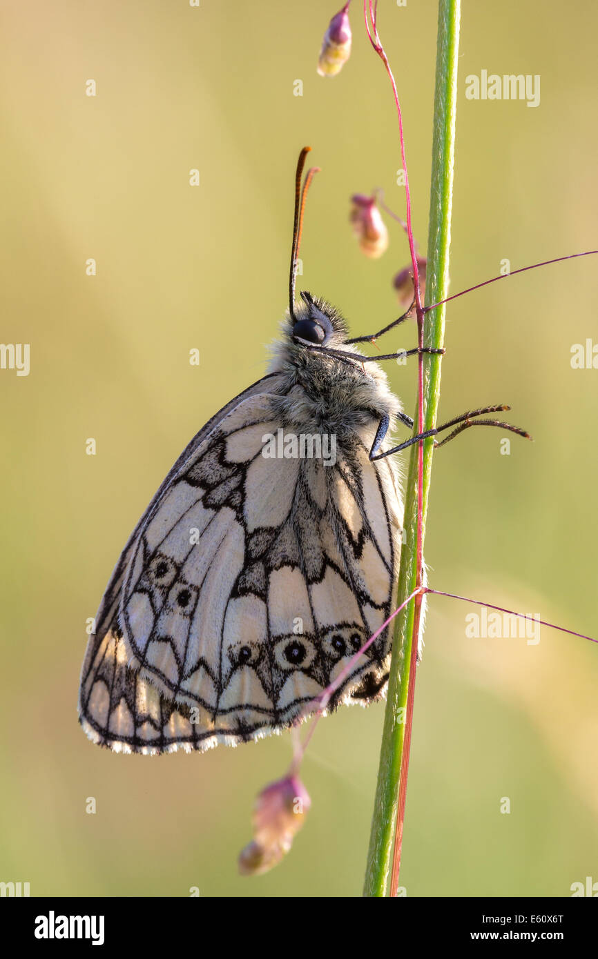 A freshly emerged Marbled White butterfly (Melanargia galathea), basks in late afternoon sun on Collard Hill in - Stock Image