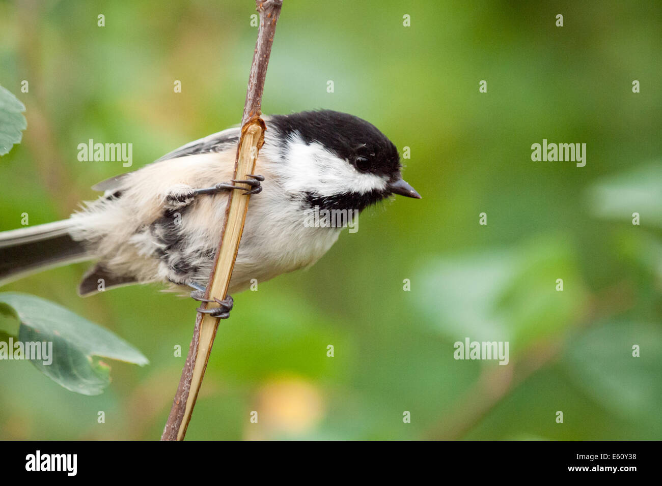 An acrobatic Black-capped chickadee (Poecile atricapillus) in summer. Edmonton, Canada. - Stock Image