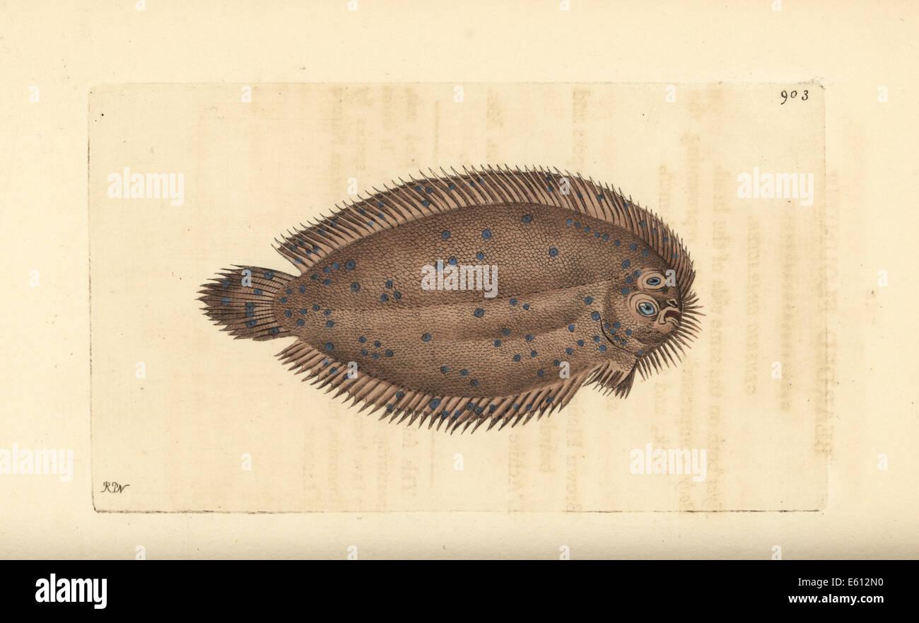 Bearded flounder, Pleuronectes barbatus. - Stock Image