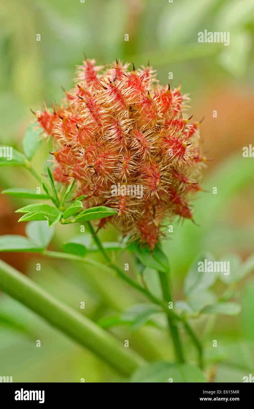 Licorice (Glycyrrhiza glabra), fruit, Germany Stock Photo