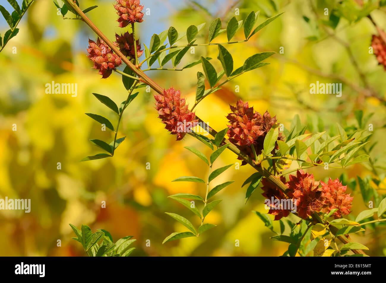 Licorice (Glycyrrhiza glabra), branch with fruit, Germany Stock Photo