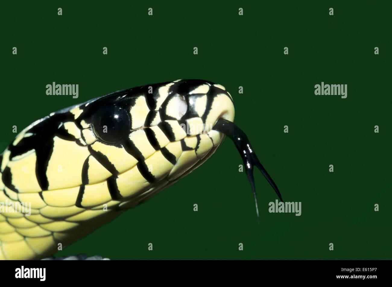 Caninana (Spilotes pullatus), lambent, native to South America, captive, Germany - Stock Image