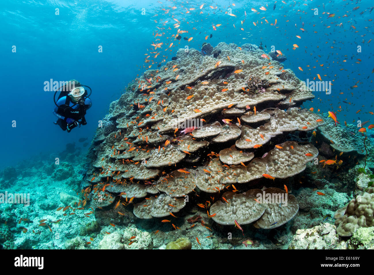 Scuba Diver looking at a large stone coral with Anthias (Anthiinae), Lhaviyani Atoll, Indian Ocean, Maldives - Stock Image