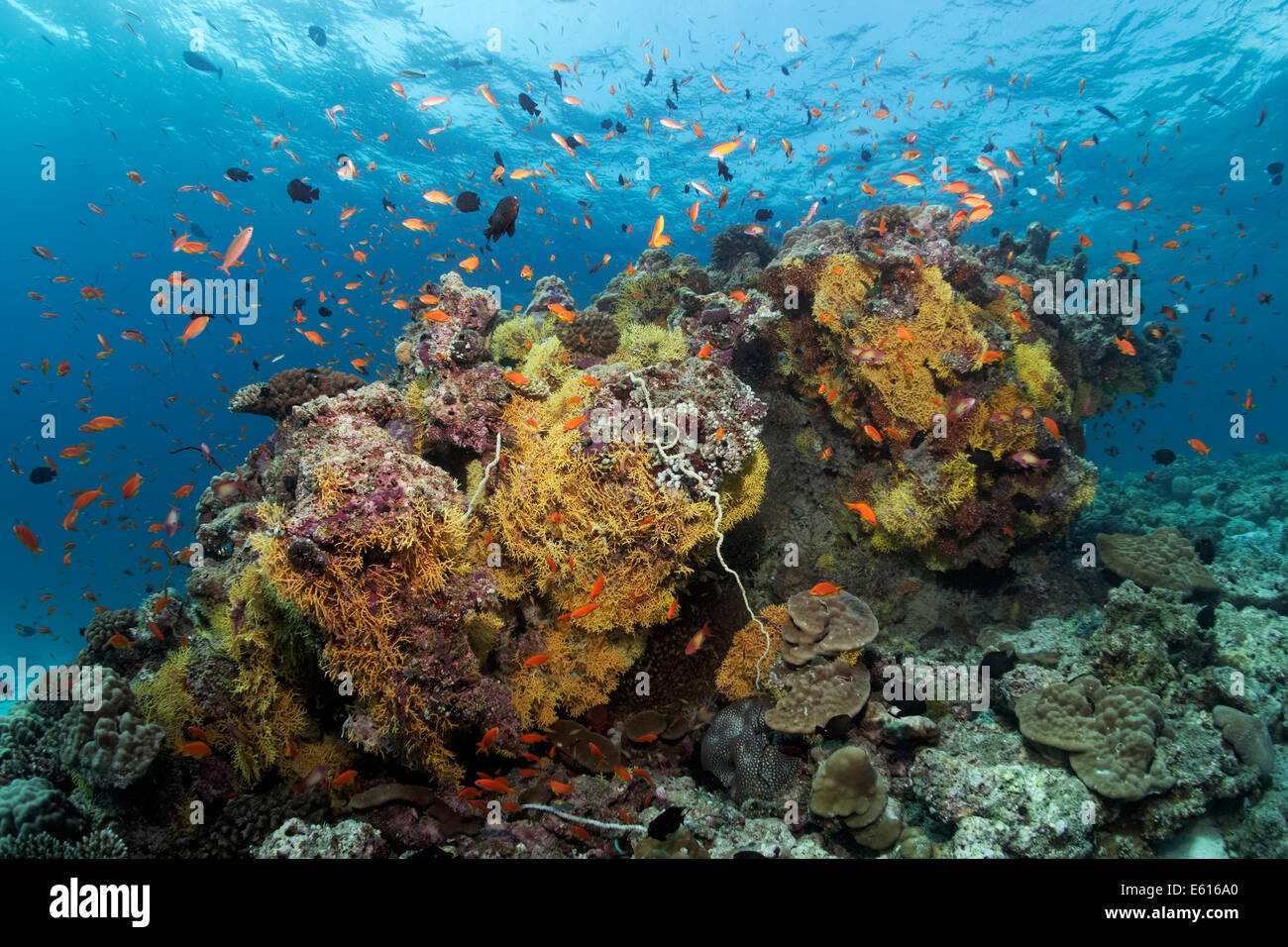 Coral block from various soft corals and hard corals, with Anthias (Anthiinae), Lhaviyani Atoll, Indian Ocean, Maldives - Stock Image