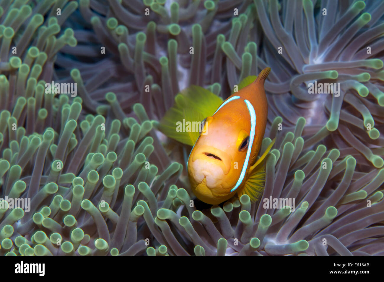 Maldive Anemonefish or Blackfinned Anemonefish (Amphiprion nigripes) in a Magnificent Sea Anemone (Heteractis magnifica) - Stock Image