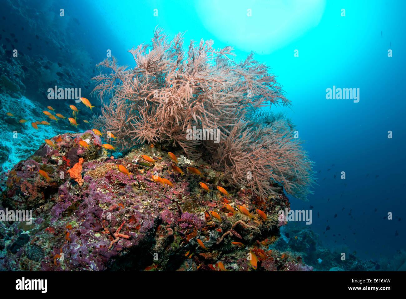 Coral reef with Black Coral (Antipathes sp.) and Anthias (Anthiinae), Lhaviyani Atoll, Indian Ocean, Maldives - Stock Image