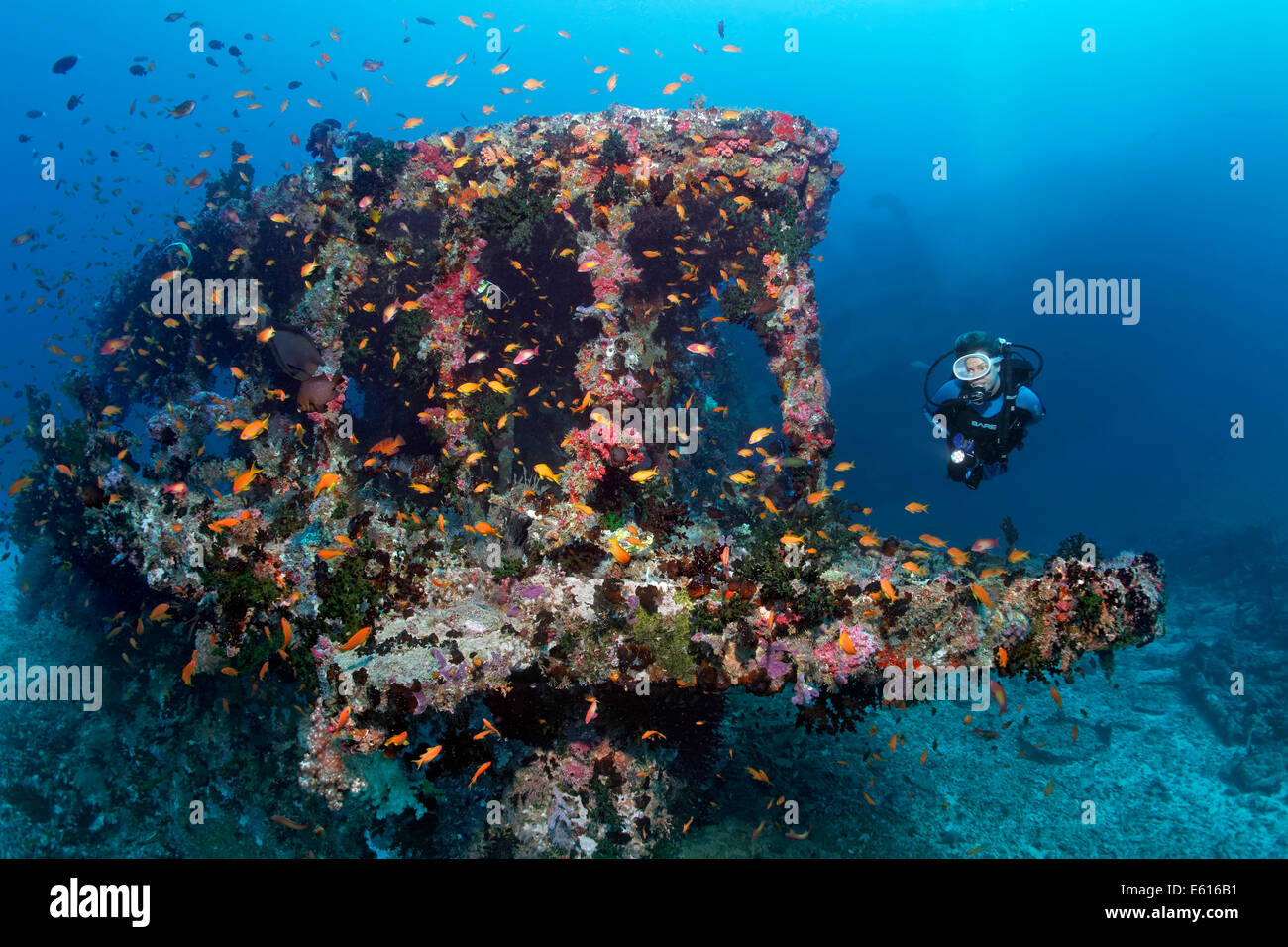 Scuba diver diving at an overgrown wreck, Skipjack II, Anthias (Anthiinae), 'The Shipyard' diving site, - Stock Image
