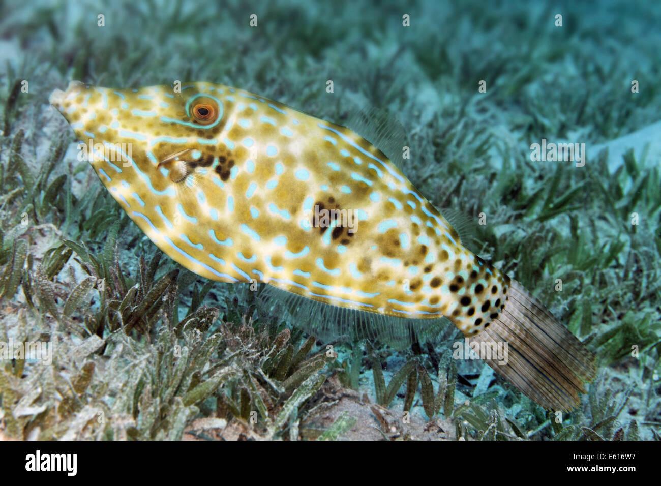 Scrawled Filefish (Aluterus scriptus) on seagrass meadow, Makadi Bay, Red Sea, Hurghada, Egypt - Stock Image