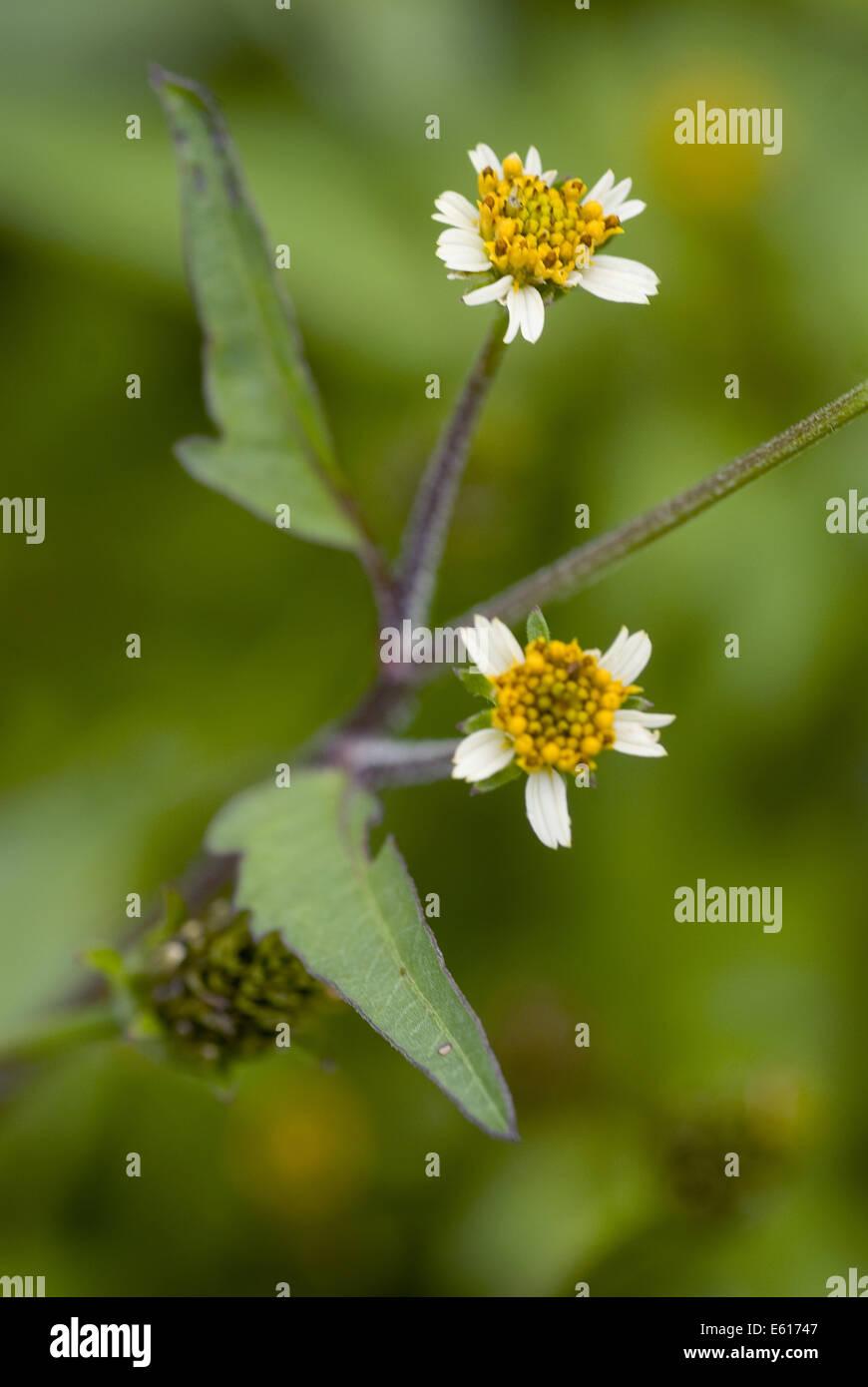 hairy beggarticks, bidens pilosa - Stock Image
