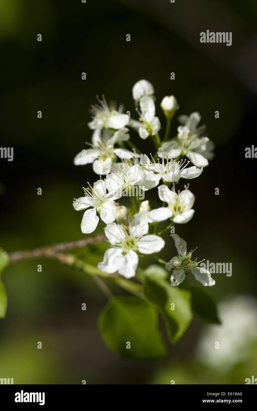 blackthorn, prunus spinosa - Stock Image