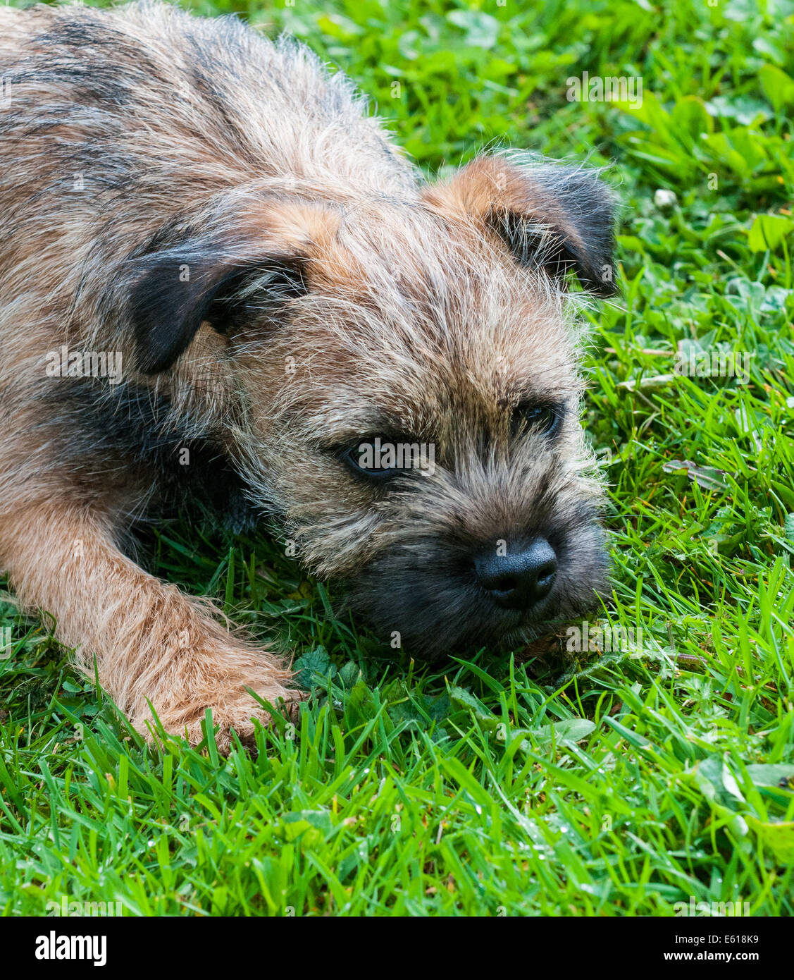 A Border Terrier dog, five months old Stock Photo
