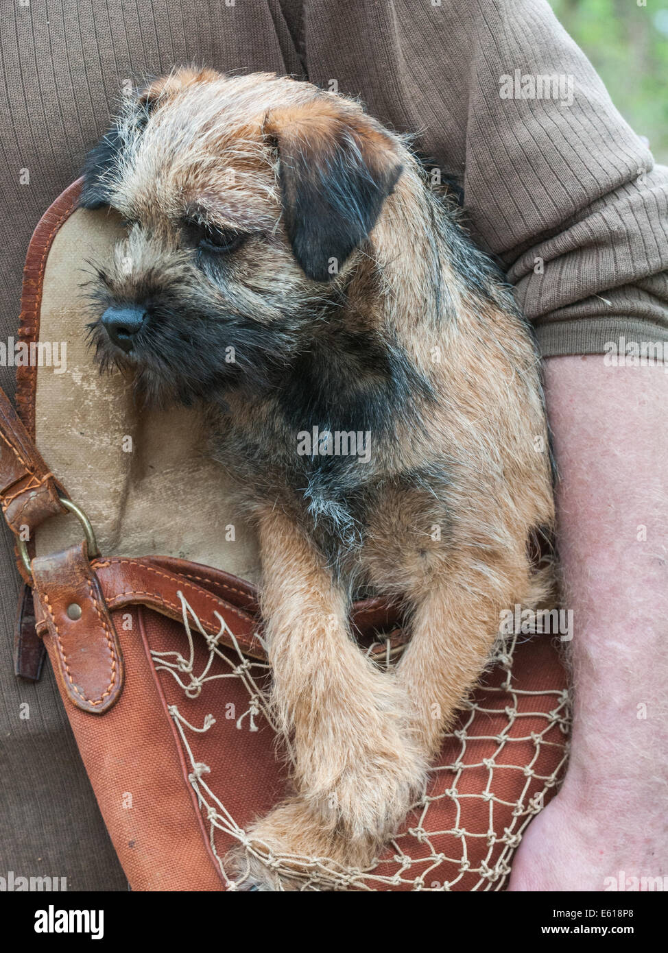 a border terrier dog five months old sat in a game bag stock photo