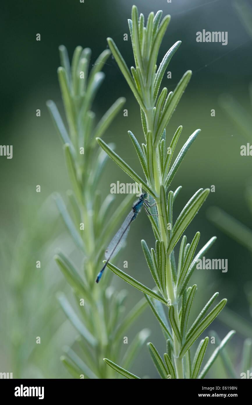 eurasian bluet (coenagrion) on rosemary (rosmarinus officinalis) - Stock Image