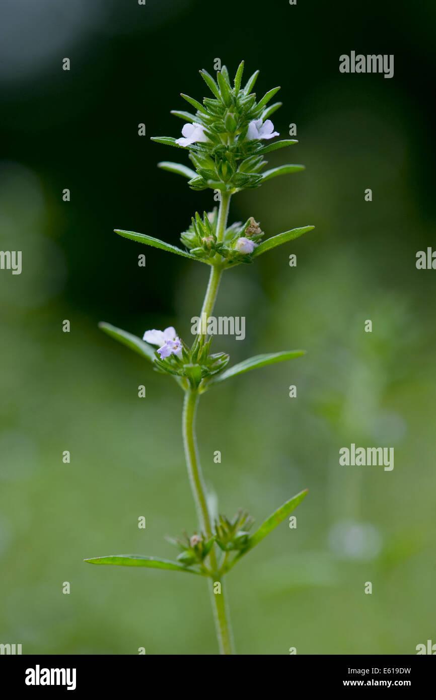summer savory, satureja hortensis Stock Photo