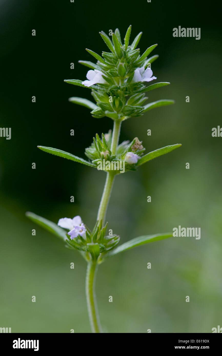 summer savory, satureja hortensis - Stock Image