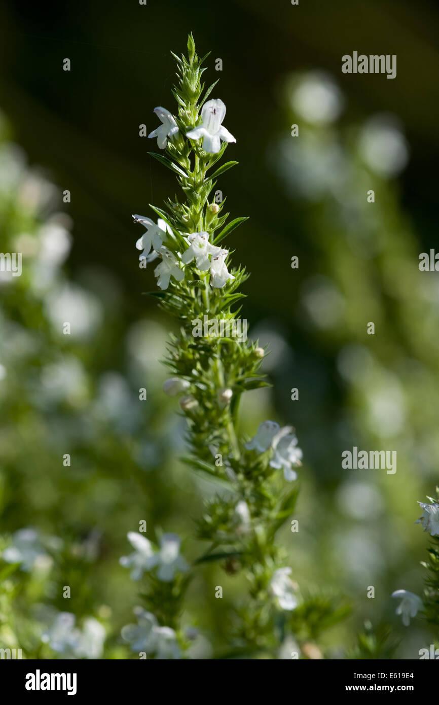 winter savory, satureja montana Stock Photo