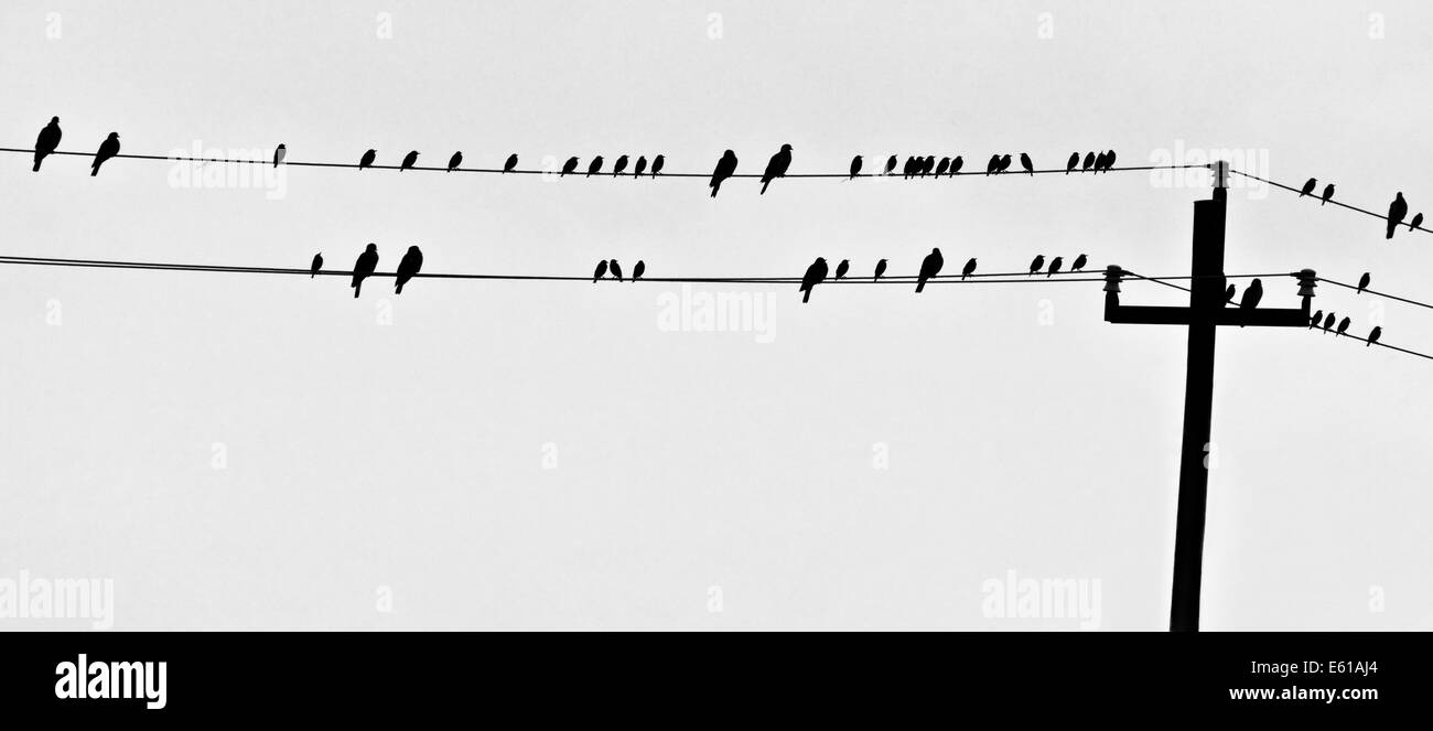 Silhouette of birds perched on a powerline. All but 2 of the birds are facing right. Why are the two individuals - Stock Image