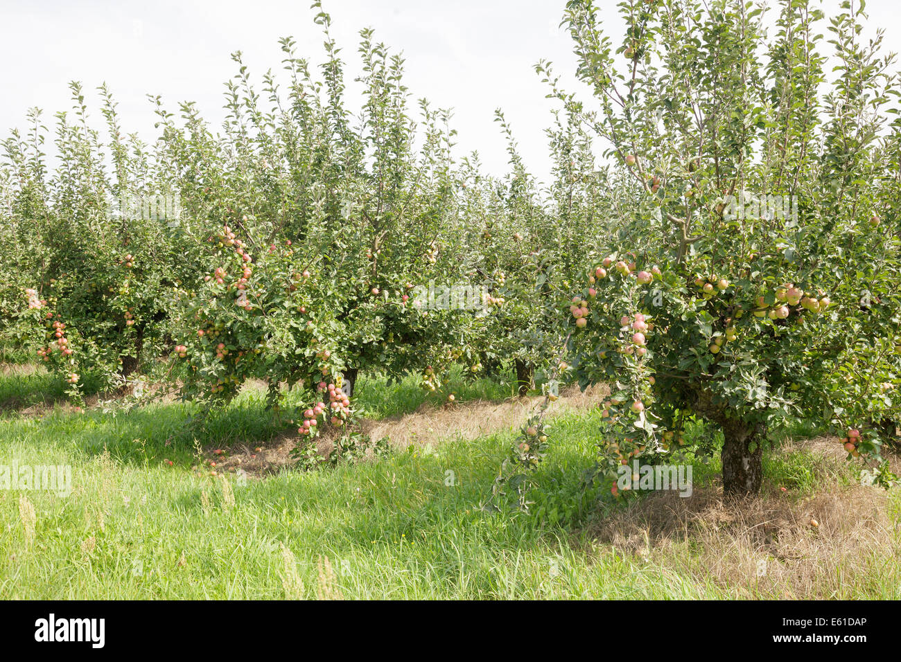 Apple orchard - Stock Image